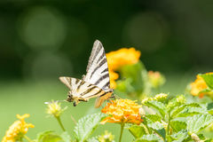 Iphiclides podalirius butterfly on a marigold plant. Royalty Free Stock Photography