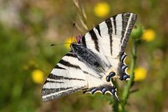 Iphiclides podalirius Stock Images
