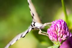 Iphiclides podalirius butterfy royalty free stock image