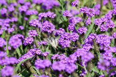 Iphiclides Podalirius butterfy Verbena στα Gillies Venosa & το λουλούδι γάντζων Στοκ Φωτογραφίες