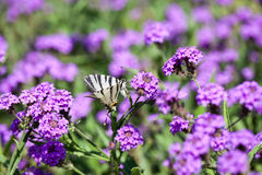 Iphiclides Podalirius butterfy Verbena στα Gillies Venosa & το λουλούδι γάντζων Στοκ φωτογραφία με δικαίωμα ελεύθερης χρήσης
