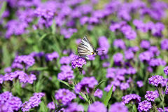 Iphiclides Podalirius butterfy Verbena στα Gillies Venosa & το λουλούδι γάντζων Στοκ εικόνα με δικαίωμα ελεύθερης χρήσης