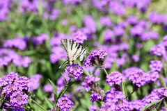 Iphiclides Podalirius butterfy Verbena στα Gillies Venosa & το λουλούδι γάντζων Στοκ Εικόνα