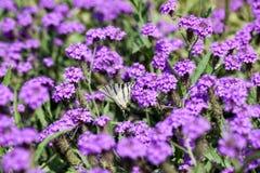 Iphiclides Podalirius butterfy on Verbena Venosa gillies & hook flower Stock Photos