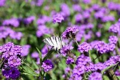 Iphiclides Podalirius butterfy on Verbena Venosa gillies & hook flower. S Royalty Free Stock Image