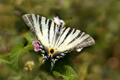 Big yellow butterfly with black stripes royalty free stock photography
