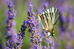 Iphiclides podalirius on lavender. The colors of the spring Stock Images