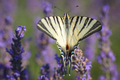 Iphiclides podalirius on lavender. The colors of the spring Royalty Free Stock Images