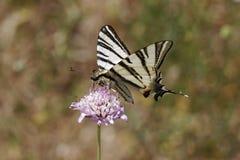 Iphiclides podalirius, Rzadki swallowtail, żagla swallowtail, gruszy swallowtail od Francja Zdjęcie Stock