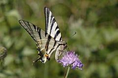 iphiclides podalirius rzadki swallowtail zdjęcia stock