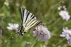 Iphiclides podalirius, Scarce swallowtail, Sail swallowtail Stock Photos