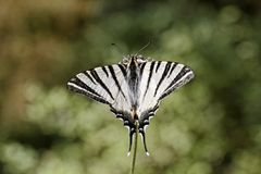 Iphiclides podalirius, Scarce swallowtail, Sail swallowtail, Pear-tree swallowtail Stock Images