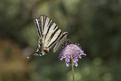Iphiclides podalirius, Scarce swallowtail, Sail swallowtail, Pear-tree swallowtail Stock Photography
