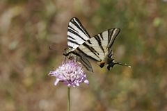 Iphiclides podalirius, Scarce swallowtail, Sail swallowtail, Pear-tree swallowtail from France Stock Photo