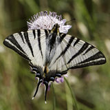 Iphiclides podalirius, Scarce swallowtail, Sail swallowtail, Pear-tree swallowtail Royalty Free Stock Photo