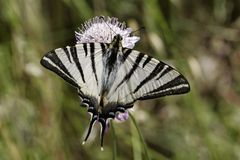 Iphiclides podalirius, Scarce swallowtail, Sail swallowtail, Pear-tree swallowtail from Southern France Stock Images