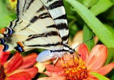 iphiclideslepidopteranpodalirius Arkivbilder