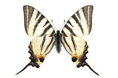 iphiclidespodalirius royaltyfri fotografi