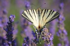 Iphiclidespodalirius op lavendel royalty-vrije stock afbeeldingen