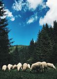 IPhone sheep Royalty Free Stock Photos