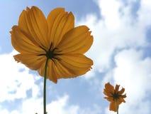 Orange Cosmos flower. Photo taken by iphone se Stock Photography