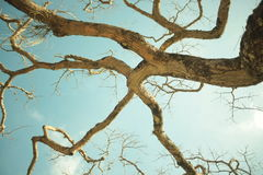 Ipiabas träd Arkivbilder
