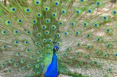 Ipnosi della coda del pavone Immagini Stock Libere da Diritti