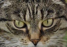 Ipnotizzando dagli occhi del ` s del gatto immagini stock libere da diritti