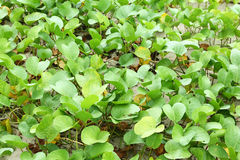 Ipomea αναρριχητικών φυτών ποδιών αίγας Στοκ εικόνες με δικαίωμα ελεύθερης χρήσης