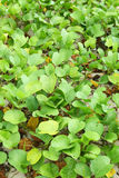 Ipomea αναρριχητικών φυτών ποδιών αίγας Στοκ Εικόνες