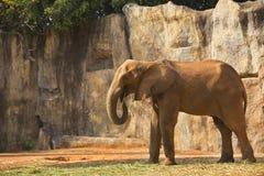 Ipomea d'alimentazione dell'elefante africano Immagine Stock Libera da Diritti