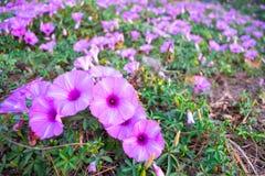 Ipomea di fioritura della costa fotografie stock libere da diritti