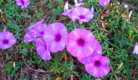 Ipomea di fioritura della costa Immagini Stock Libere da Diritti
