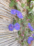 Ipomea flowers. Blue ipomea flowers on the wall Royalty Free Stock Photography