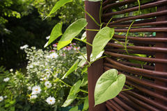 Ipomea leaves curling through arbor rods. In a garden Stock Images