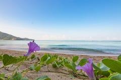 Ipomea sulla spiaggia Fotografia Stock