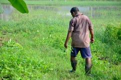 Ipomea tailandese del raccolto di 60 anni dell'uomo anziano Fotografia Stock