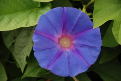 Ipomee - bleu grande Azur di fleur Immagine Stock Libera da Diritti