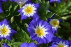 Ipomee blu e gialle splendide in fioritura Immagini Stock