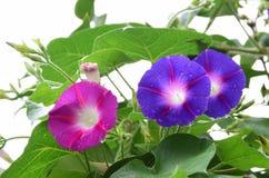 Ipomee blu e rosse nel letto di fiore Immagini Stock