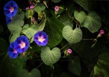 Ipomee porpora e rosa che crescono generoso Fotografie Stock