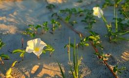 Ipomee sulla spiaggia Fotografia Stock