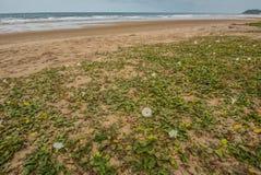 Ipomoea στην παραλία το πρωί στη λαοτιανή παραλία Chao Στοκ φωτογραφία με δικαίωμα ελεύθερης χρήσης