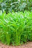 Ipomoea Aquatica trees in vegetable garden Royalty Free Stock Photo