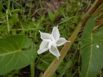 Ipomoea aquatica. White Water Spinach Flowers Blooming stock image