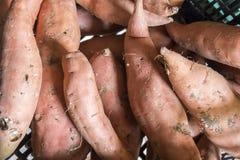 Ipomoea batatas Royalty-vrije Stock Fotografie