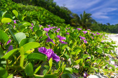 Ipomoea on a beach or Beach Morning Glory Stock Photography