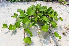 Ipomoea on the beach. Ipomoea pes-caprae creeping all over the beach stock photo