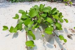 Ipomoea on the beach stock photo