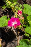 Ipomoea - ornamental flowers, grow on the plot, decorate the yard stock photo